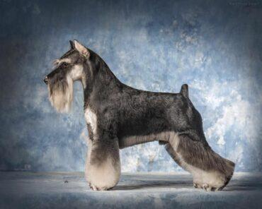 Тримминг собак в Москве